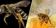 İnsandan sonra En Önemli Canlı Arılar
